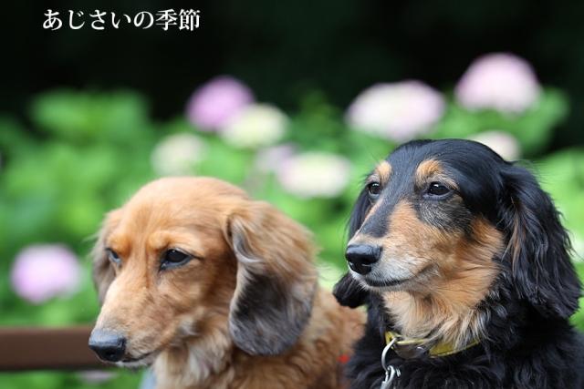 紫陽花の季節.jpg